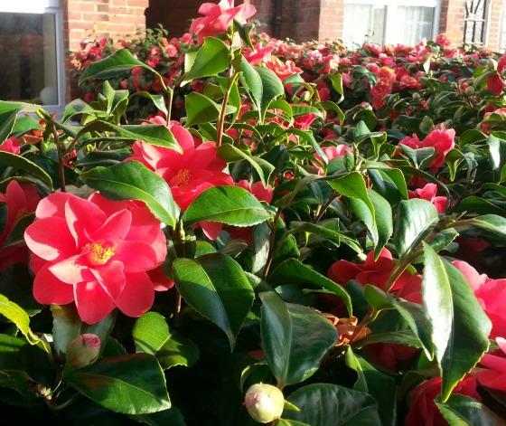 Camellia2